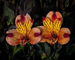 Summer Warmth (MrBlueSky*) Tags: flower petal plant garden horticulture nature outdoor colour kewgardens royalbotanicgardens london pentax pentaxart pentaxlife pentaxk1 pentaxawards pentaxflickraward aficionados