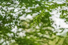 swirly tree bokeh (kderricotte) Tags: helios44m458mmf2 bokeh depthoffield vintagelens helios sony sonya7ii tree swirly
