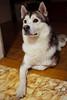 20171119-PK176164.jpg (axl_kollar) Tags: dog husky canon 1d3 eos 35
