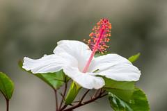 White Hibiscus, Kauai, Hawaii, USA (takasphoto.com) Tags: 80400mmf4556dvr afvrzoomnikkor80400mmf4556ded angiosperms bloom blossom blüte d610 eudicots flor flower floweringplant fullframe greenplants hibisceae hibiscos hibiscus hoa kingdomplantae lens malvaceae malvales malvoideae nature nikkor nikkor80400mm nikkor80400mmf4556dafvred nikkorlens nikon nikond610 outdoor plantae rosemallow rosids supertelephoto telephoto xochitl цветок פרח خطمي زهرة گل ดอก ニコン ニッコール ハイビスカス フヨウ属 有花植物 木槿属 植物 自然 芙蓉属 花 花卉 被子植物