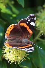 Petite tortue ou Vanesse de l'ortie - Aglais urticae - Havré (Belgique). (grandmont.jeanpol) Tags: lepidoptera papillon belgique petitetortue vanessedelortie aglaisurticae havréhainaut