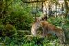Zoo Doué La Fontaine, Bio Parc (GL Showa) Tags: zoo félin