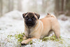 Pug pup (keen-eyed) Tags: pug puppy dog dogs dogportrait winter snow