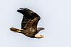 Bald Eagle (mayekarulhas) Tags: canon500mm canon bird raptors bald eagle eaglebald conovingo canon1dxmark2