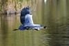 DSC_4968 (rtatn8) Tags: springwelllake rickmansworth hertfordshire england uk bird greyheron ardeacinerea flikr