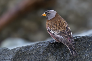 Grey-crowned Rosy-Finch | Roselin à tête grise