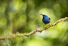 Shining Honeycreeper (Cyanerpes lucidus) perched on a branch in the rainforest (Chris Jimenez Nature Photo) Tags: copearte birding cyanerpeslucidus nature lowlands blobs tropics tanager tangaragyrola backlight shininghoneycreeper branch costarica bird chrisjimenez cope chris tanagers perched tropical centralamerica