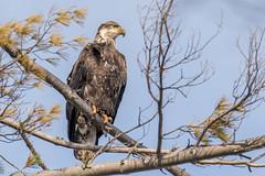 New Year's Eagle (rdroniuk) Tags: birds birdsofprey raptors eagle baldeagle haliaeetusleucocephalus oiseaux oiseauxdeproie rapaces aigle pygargueàtêteblanche baldeaglejuvenile