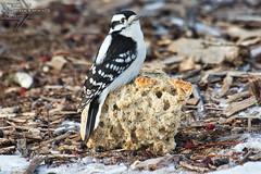 Female Downy Woodpecker (Winglet Photography) Tags: picoidespubescens downywoodpecker woodpecker birding wingletphotography georgewidener stockphoto earth wisconsin canon 7d georgerwidener nature wildlife outdoor bird animal