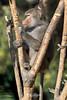 """ The Lookout.... "" (ToddLahman) Tags: hamadryasbaboon hamadryas baboon sandiego sandiegozoo tree lookout mammal male outdoors portrait beautiful canon7dmkii canon canon100400 closeup africarocks"