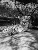 Untitled Cheetah Perfume Ad (montusurf) Tags: cheetah cat feline predator fast speed the living desert zoo california palm springs black white bw lying three cheetahs zoosofnorthamerica