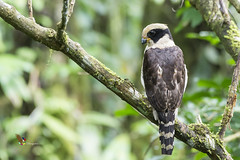 Laughing Falcon (fernaabs) Tags: herpetotheres cachinnans laughing falcon guaco aves fernaabs burgalin avesdecostarica falconiformes falconidae