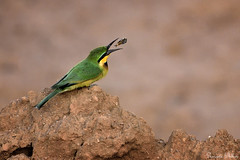 Little Bee-eater (Sumarie Slabber) Tags: bird birding animal sumarieslabber eating wild insect fauna nature soil