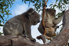 Camping with Wild Koalas in Mikkira, South Australia (hectordotlee) Tags: camping landscape cloudy australia tourist canon canon500d animal summer wild attraction tree 500d scenic nullarbor portlincoln travel southaustralia koalas outdoor sleaford au