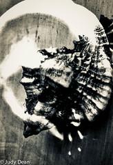 A word in your shell like... (judy dean) Tags: 2018 judydean doubleexposure ear macro manor miniature sculpture shell macromonday