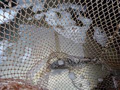 im Netz  / in the mesh (Ellenore56) Tags: fisch fish wasser water wasserblasen luftblase babble bleb airbubble karpfen carp spiegelkarpfen mirrorcarp tier animal lebewesen creature masche maschen netz fischernetz mesh stitch net network web lattice fishnet flue flew fishinignet textur texture detail moment augenblick sichtweise perception perspektive perspective reflektion reflection reflexion farbe color colour licht light inspiration imagination faszination magic panasonicdmctz61 ellenore56 www 06122017