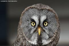 Great grey owl (Mandenno photography) Tags: dierenpark dierentuin dieren animal animals bird birds owl owls greatgrey ngc nederland netherlands nature