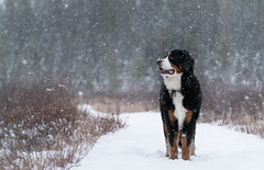 Bernese in the snow! (rmikulec) Tags: bernese mountain dog berner puppy big large snow boardwalk snowstorm flurry squall winter cold path hike walk weeds pines canada ontario algonquin park