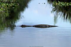 Alligator @ Everglades National Park (Rick & Bart) Tags: florida everglades evergladesnationalpark park usa nature wetland rickvink rickbart canon eos70d miamidade reptile animal alligator americanalligator