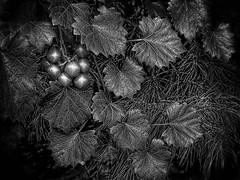 Merry Monochrome Christmas 2017 (FotoGrazio) Tags: 2017 americanberry bw black blacks botany christmas merrychristmas waynegrazio waynesgrazio xmas abstract art artofphotography beautiful blackandwhite botanical closeup composition contrast dark deepblack fineart fotograzio leaves lovely macro magical monochrome mothernature nature phototoart phototopainting plant shadows texture