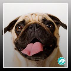#365Pugs VetPrev (Nov2017) (VetPrev) Tags: vetprev fabiodafonseca dogsoflove pug pugs petsoninstagram instapuppy dogoftheday pets puglove puglife pugsofinstagram puppy dog dogs love animal pet puglovers like4like follow4follow pugsrule🐶 pugsrock pugsonly pugsdaily pugscorner ilovemydog cesarmillan manejo psicologiacanina