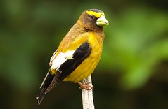 Evening Grosbeak (jerrygabby1) Tags: grosbeak yellow washington us explore
