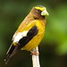 Evening+Grosbeak