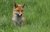 Red Fox (Vulpes vulpes). (Sandra Standbridge.) Tags: redfoxvulpesvulpes redfox animal wildandfree wild mammal wildlife outdoor grass cute sweet