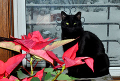 midnight (greenelent) Tags: cat flower animal xmas snow winter brooklyn nyc 365 photoaday black blackcat