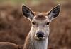 DOE A DEER (gazza294) Tags: deer reddeer bushypark flicker flickr flckr flkr gazza294 garymargetts