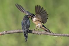 L'imbeccata (Ricky_71) Tags: barn swallow rondine hirundo rustica wild summer nikon