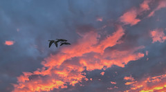 01032017 Sunrise Clouds (Angie Vogel Nature Photography) Tags: geese sunrise clouds colorfulclouds nature wildlife