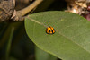 20170528-144532_SutherlandMacro_D7100_6535.jpg (Foster's Lightroom) Tags: kirrawee houses arthropods ladybugs adamfostersunit newsouthwales polyphaga beetles insects australia ladybeetles ladybirds au