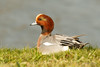Smient / Eurasian Wigeon/ Anas penelope (Foto Jan) Tags: smient m duck eend texel utopia nederland netherlands anaspenelope eurasianwigeon
