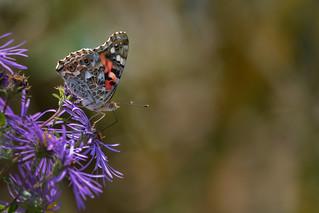 Papillon Belle-Dame   Parc Angrignon   Arrondissement Sud-Ouest   Montréal