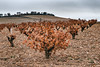 . (^ ^ Saha) Tags: entreviñas viñedos clarete docigales valladolid otoño