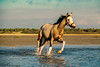 Pure Mystery (PhotOw'graphie) Tags: cheval horse stallion eau plage mer extérieur anglo arabe