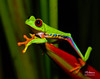 RedEyedTreeFrogWalkingHandout (TRAdamson Photography) Tags: costarica costa rica rainforests travel centralamerica puravida frog frogs amphibians tropicalfrogs redeyedtreefrog treefrog treefrogs red redeyed eyes herping herpetology herps costaricanherps costaricanrainforests