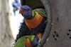 12-11-17_Lone_Pine-4 (kookabrophoto) Tags: lorikeets lunch emu stealing colourful