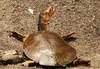 3S5X1094  Soft Shell Sunbathing (Eileen Fonferko) Tags: turtle animal reptile nature wildlife sunbathing