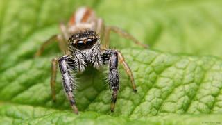 Marpissa formosa jumping spider