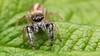 Marpissa formosa jumping spider (Tibor Nagy) Tags: marpissa formosa spider jumper jumpingspider salticid salticidae arachnid arthropod closeup flash diffused diffuser softbox macro