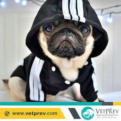 #365Pugs VetPrev (Dez2017) (VetPrev) Tags: vetprev fabiodafonseca dogsoflove pug pugs petsoninstagram instapuppy dogoftheday pets puglove puglife pugsofinstagram puppy dog dogs love animal pet puglovers like4like follow4follow pugsrule🐶 pugsrock pugsonly pugsdaily pugscorner ilovemydog cesarmillan manejo psicologiacanina