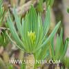Kleinia neriifolia (SUBENUIX) Tags: altressuculentes kleinianeriifolia suculentas subenuix subenuixcom planta suculent suculenta botanic botanical