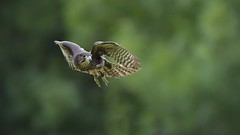 New Zealand Falcon (karearea) (njohn209) Tags: birds d500 nikon nz