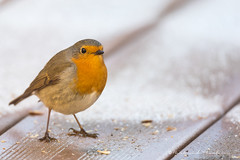 Péché par gourmandise (Bertrand Thiéfaine) Tags: rougegorge hiver oiseau gourmandise jardin