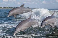 Bottlenose Dolphin (toryjk) Tags: sanibelisland sanibel sanibelislandwildlife thriller jumpingdolphin dolphin breaching breach wake leaping jump bottlenosedolphin atlanticbottlenosedolphin atlanticocean gulfofmexico nature wildlife wild