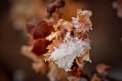 Snowflakes and Frost on Feather and Perennial Plant (Ginger H Robinson) Tags: arctic blast snowflake snow frost feather perennial plant leaf rockymountain frontrange colorado macro