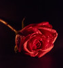 Olde Rose (Totosma) Tags: red rose candlelit macro petals misted