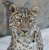 Zoya Close-Up (greekgal.esm) Tags: amurleopard fareasternleopard leopard bigcat cat feline animal mammal carnivore zoya livingdesertzoo livingdesert palmdesert sony rx10m3 rx10iii